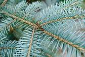Aghi blu sul giovane ramo dell'abete — Foto Stock