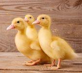 Yellow ducklings — Stock Photo