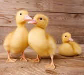 Yellow ducklings — Stock Photo