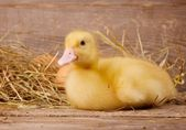 Yellow duckling — Stock Photo