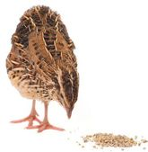 Young quail — Stock Photo