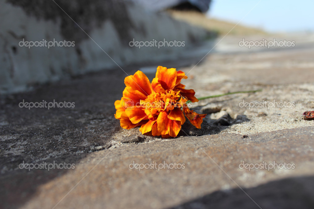 Orange colored flower on the road — Stok fotoğraf #18232273