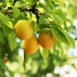 Yellow plum - Stock Photo
