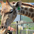 Giraffe in the zoo - Stock Photo