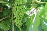 新緑のブドウは飛び散った — ストック写真