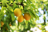 Yellow plum — Stock Photo