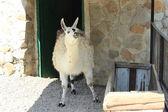 Lama in the zoo — Stock Photo