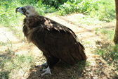 Vulture in the zoo — Stock Photo
