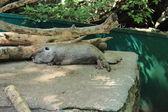 Nutria in the zoo — Stock Photo