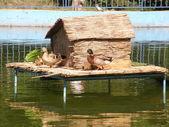 Duck and duckling house on the river — Foto de Stock