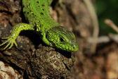 ящерица на дереве — Стоковое фото