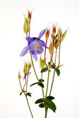 Alpine Blue Columbine — Stock Photo