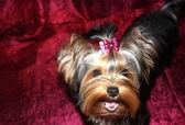 Yorkshire terrier. — Foto Stock