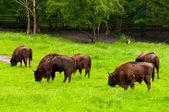 European bisons — Stock Photo