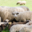 Sheeps from Transylvania — Stock Photo
