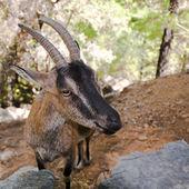 Wild kri-kri goat in Samaria Gorge, Crete, Greece. — Stock Photo