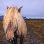Icelandic Horse with impressing mane — Stock Photo