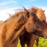Icelandic horses — Stock Photo #38426665