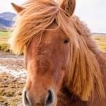 Iceland Horse — Stock Photo #38426785