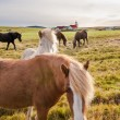 Icelandic horses — Stock Photo #38426859
