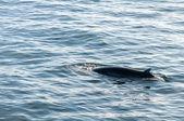 Baleia-jubarte, Islândia — Fotografia Stock