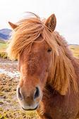 Cavalo da Islândia — Fotografia Stock