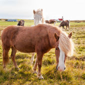 Icelandic horses — Stock Photo