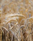 Ripe heads of golden wheat in the field — Zdjęcie stockowe