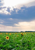 View of field with blooming sunflowers with sunset in background — Stock Photo