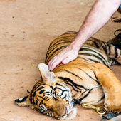 Young tiger cub in famous Tiger Temple in Kanchanaburi, Thailand — Foto de Stock