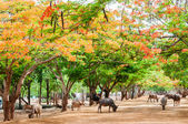 Scenery with flame trees at the Tiger Temple in Kanchanaburi, Thailand — Stock Photo