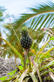 View of Pineapple on the plant in the wild — Stock Photo