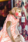 Trained monkey performing in circus — Foto Stock