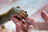 View of Human palm holding a small monkey hand — Стоковое фото