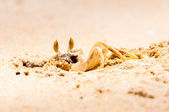 Closeup of Crab digging a hole in the sand — Stock Photo