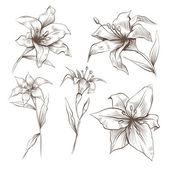 Lilly květiny ručně kreslenou vektorové sada — Stock vektor