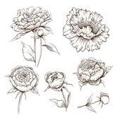 Hand drawn peony flowers vector set — Stock Vector