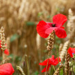 Poppy / Red or Corn Poppies - Remembrance Day — Foto de Stock
