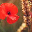 Poppy / Red or Corn Poppies - Remembrance Day — ストック写真
