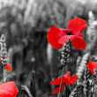 Poppy / Red or Corn Poppies - Remembrance Day — Stockfoto