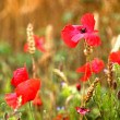 Poppy / Red or Corn Poppies - Remembrance Day — Photo