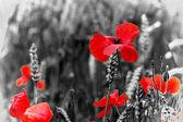 Amapola / amapolas rojas o maíz - día de la conmemoración — Foto de Stock