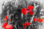 Poppy / Red or Corn Poppies - Remembrance Day — Stock Photo