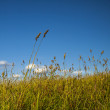 Long Grass in Wind and Blue Sky. — Stock Photo