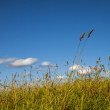 Long Grass in Wind and Blue Sky - Panoramic — Stock Photo