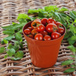 Growing Tomatoes? Red Tomatoes in Terracotta Plant Pot — Stock Photo