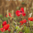 Постер, плакат: Remember for Rememberance Day Wild Poppies