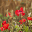 Stock Photo: Remember - for Rememberance Day - Wild Poppies