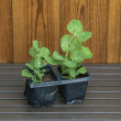 Young garden pea plants in plant pots with shed background. — Stock Photo #46133497
