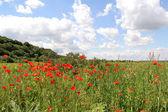 Corn Poppy Landscape — Stock Photo
